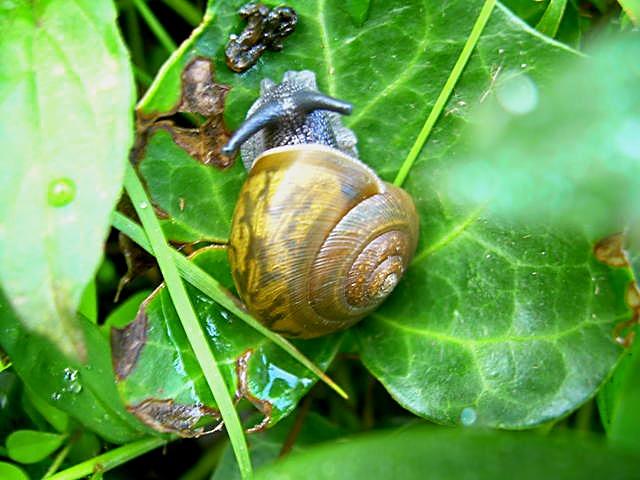 North Carolina Land Snail