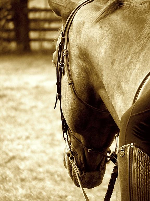 Camp Show Horse