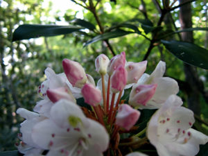 Blooming rhododendron flower