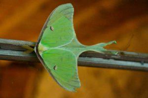 A Rockbrook Moth